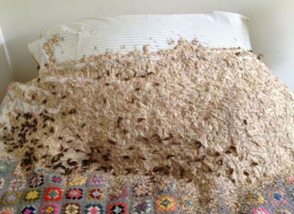 More than 5000 wasps take over woman's bed after sneaking in through small window