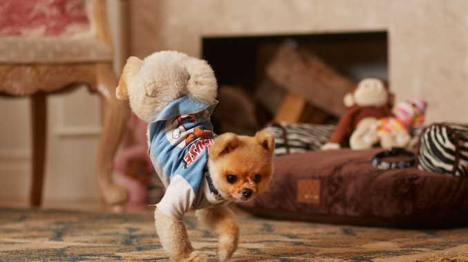 A Pomeranian named Jiff, is now a Guiness World Record holder