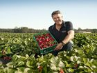 Pinata Farms strawberry production manager Sean Riley says the company's Stanthorpe crop is on track for a strong first harvest.