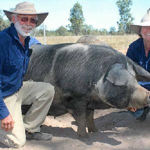 Heritage Pig Breeds Free To Roam Rural Weekly