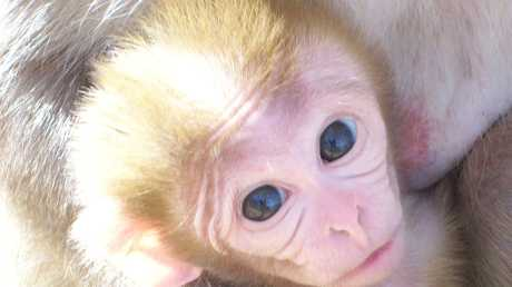 This new born Rhesus Macaque Monkey is one of many new faces at Darling Downs Zoo