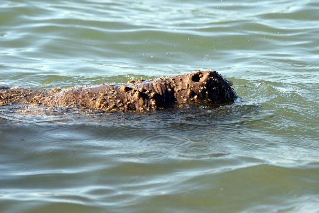 This dugong was mistaken for a croc at Pialba beach in September.