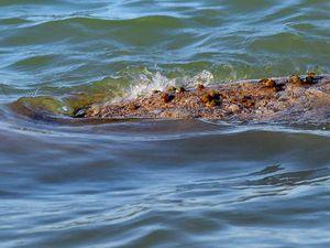 VIDEO: Have we found Hervey Bay's elusive 'croc'?