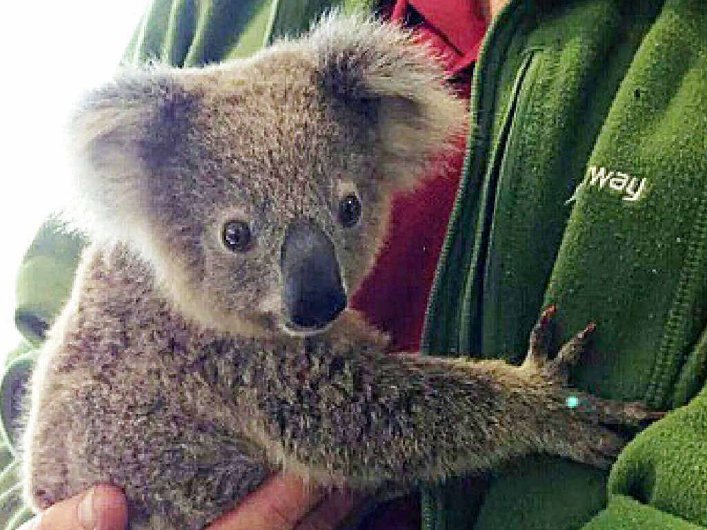 SAVED: This little bloke was picked up all alone beside the road near Kandanga this week and taken to a wildlife carer.