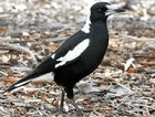 AGGRESSIVE BIRD: A magpie, the culprit in the swooping season, is protecting a nest.