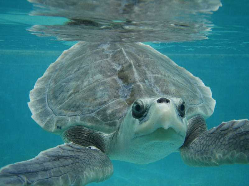 In this July 25, 2010 photograph released by the Institute for Marine Mammal Studies for editorial purposes, a Kemp's ridley sea turtle swims at the Center for Marine Education and Research in Gulfport, Miss., during its rehabilitation at the Institute for Marine Mammal Studies in Gulfport. This sea turtle was known as L-0039.