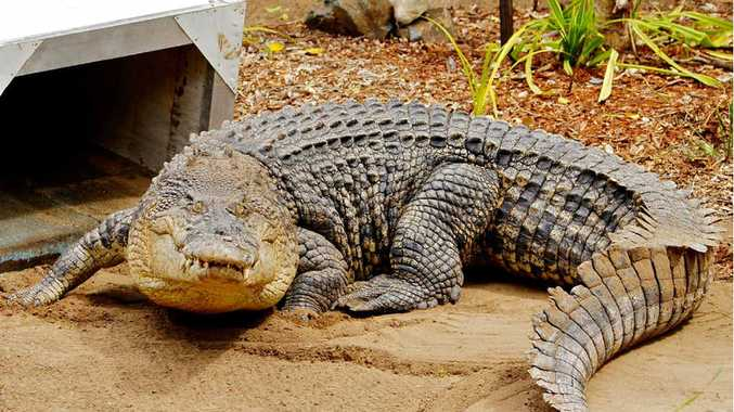 CROC ATTRACTION: The Colonel gets used to his new surrounds at Rockhampton Zoo.