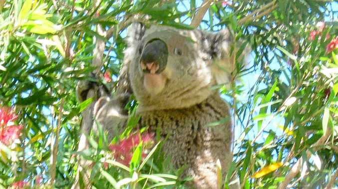 UP AND AWAY: Shane, the koala with a limp, is back doing what koalas do best after recovering from a dog mauling.