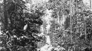 Bitapaka Rd in September 1914, leading to the wireless station the Australian troops were tasked to seize and destroy. It is representative of much of the terrain they faced during the skirmishes. Courtesy of Australian War Memorial A03146