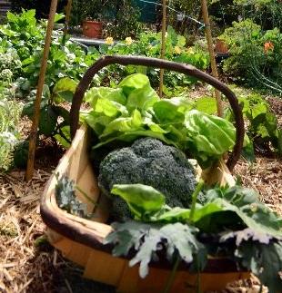 Organic gardening.  Photo: Max Fleet / NewsMail