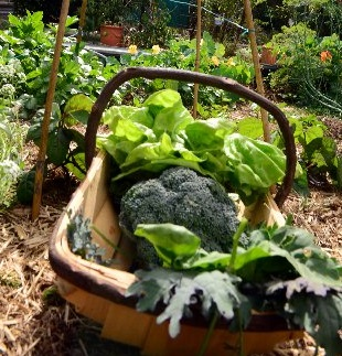 Organic gardening.  Photo: Max Fleet / NewsMail