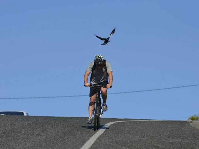 Magpie season is underway with swooping becoming more frequent in Gladstone. Photo Christopher Chan / The Observer