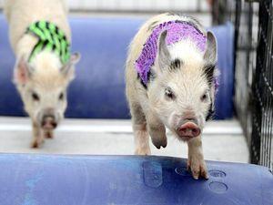 This little piggy went a-racing...