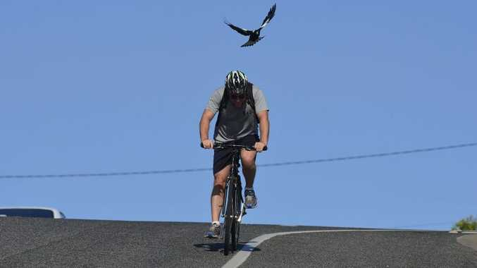 Magpie season is underway with swooping becoming more frequent. Photo Christopher Chan / The Observer