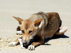 Dingo was deliberately hit, group says