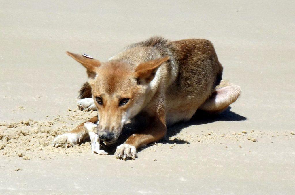 A dingo on the beach at Fraser Island.