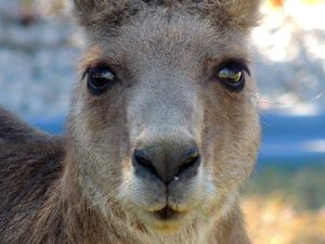 Roo-thless! Retiree feared for life in home kangaroo attack