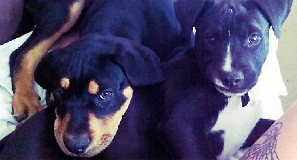 Jaxx (left) is fighting parvovirus, which claimed the life of Sarg (right).