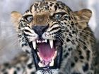 Man-eating leopard 'killing drunks' claims 12th victim