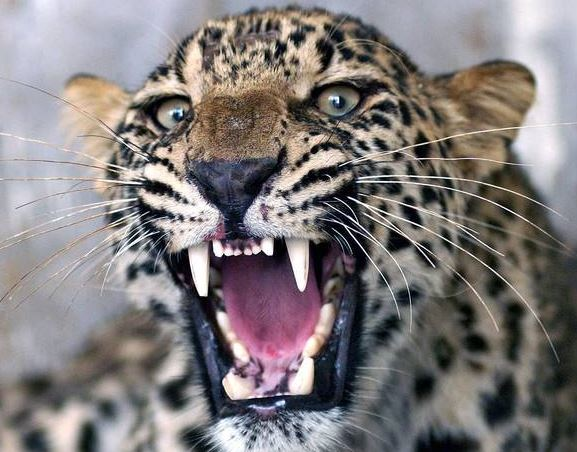 The big-cat has been terrorising villagers for two years