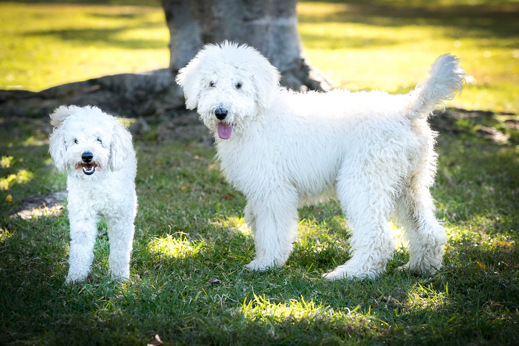 Poodles Ned and Kelly are the two new Big Brother housemates.