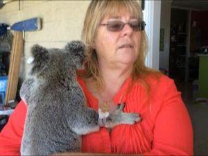Koala rescued