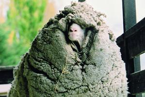 Monster Aussie fleece set to topple Kiwi Shrek record