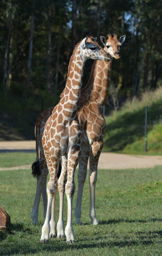 Australia Zoo's newest giraffe babies, Lily and Tulip, familiarise themselves with life on the savannah. Photo: Brett Wortman / Sunshine Coast Daily