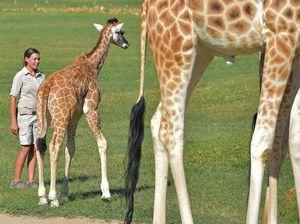 Meet Australia Zoo's new giraffe babies