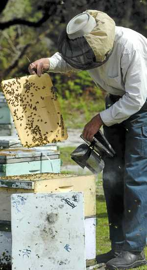 ON THE JOB: Using smoke to subdue his bees, Broadwater apiarist Alistair Maloney works a hive.