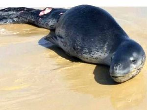 Leopard seal euthanised on Fraser Island