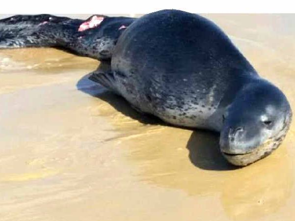 A leopard seal beached itself on Fraser Island on Tuesday afternoon.