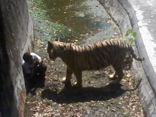 An Indian schoolboy is confronted by a white tiger inside its enclosure at the Delhi Zoo in New Delhi