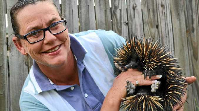 READY TO ROAM: Warwick-based wildlife carer Maggie Hughes from Woop Woop Wildlife Rescue with Treacle, a female echidna rescued a month ago.