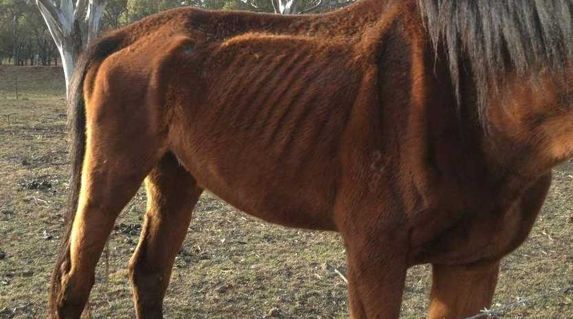 The RSPCA has seized two starving horses at a property on Toowoomba's western outskirt.