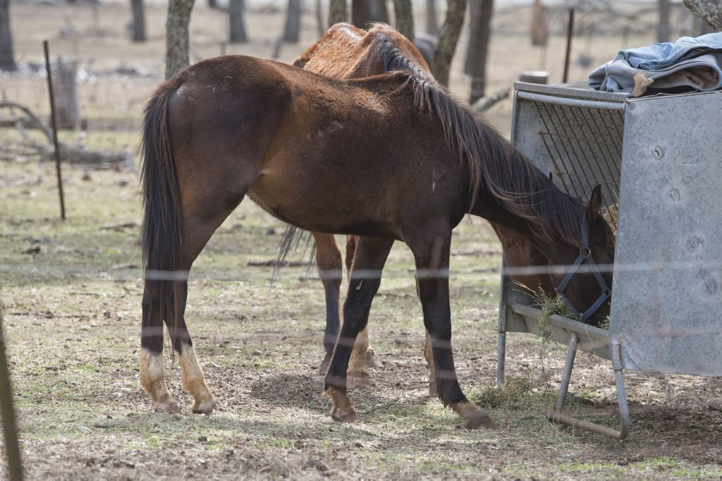 Two stallions feed on hay after being seized by RSPCA inspectors at a property on Toowoomba's western outskirt.