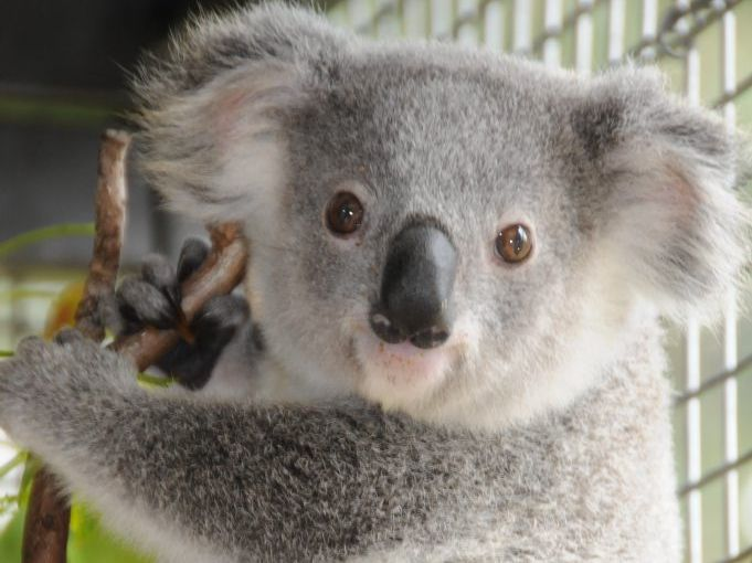 Koala breeding season usually runs from September to March.