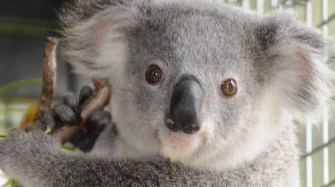 Koala breeding season usually runs from September to March.