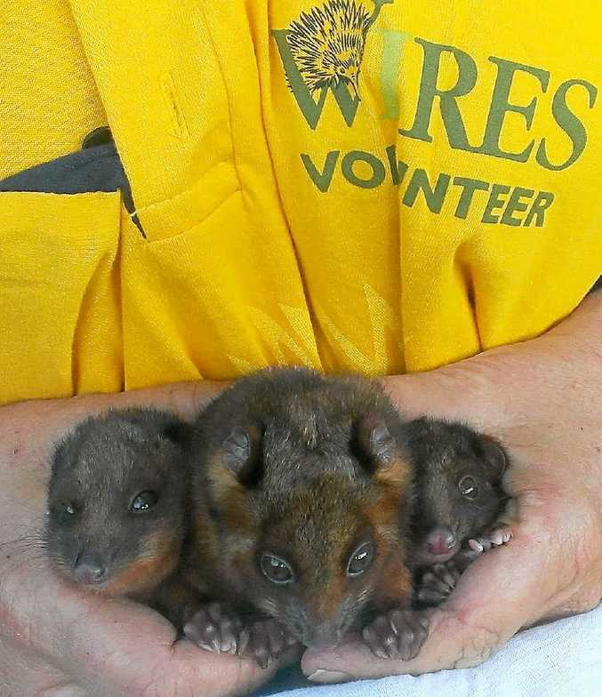 SAVED: Three baby ringtail possums rescued at the Byron Arts Factory and saved by WIRES.