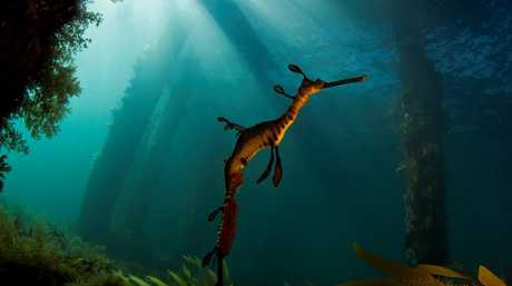 Southern Cross University PHD candidate and Marine Biologist Richard Wylie won the Ecological Society of Australia s 2014 photo competition with his shot of a Weedy Sea Dragon titled Enchanted Dragon.