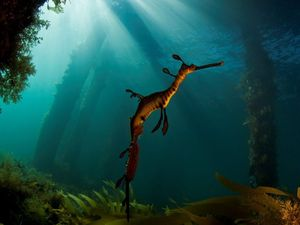 Enchanting sea dragon photo wins new award for SCU scientist