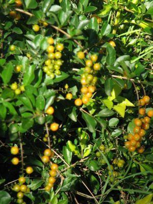 WEED: Duranta poisonous orange berries. Photo Ian Read