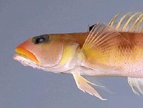 The blackfin sandperch