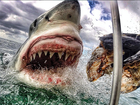 Close-up of great white shark goes viral