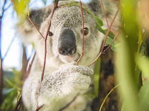 Koala drowning in Gold Coast pool prompts warning