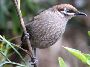Watchers warn of danger to bird as logging starts