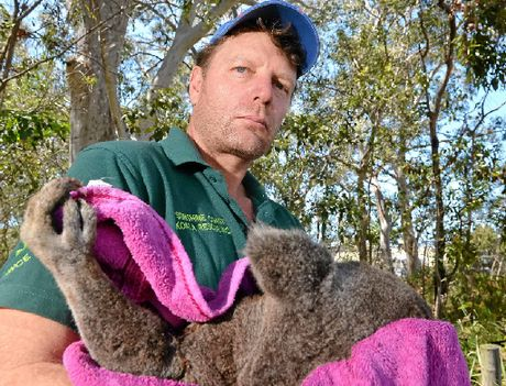 TORN TO PIECES: An angry Ray Chambers holds the dead koala found on the Bruce Hwy.