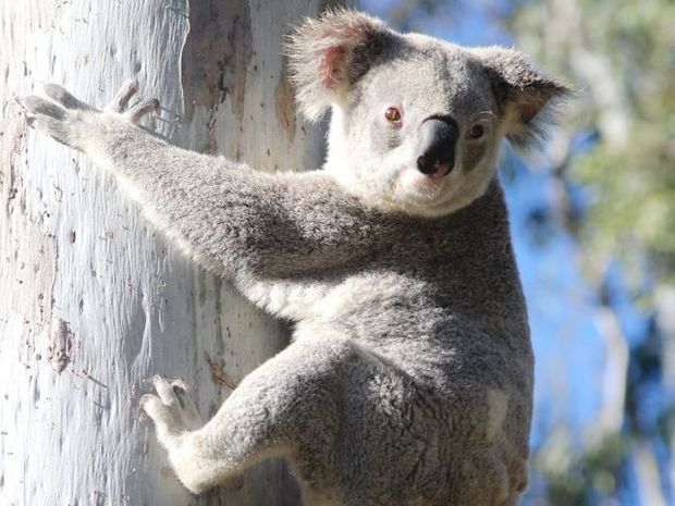 Nationals Legislative Council member Rick Colless claims a Labor policy of a 315,000ha Great Koala National Park would prove costly to the timber industry.