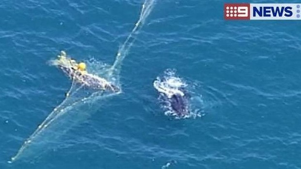 Whale trapped in netting near Rainbow Beach. Photo: Channel 9/Twitter