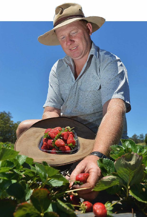 HOME GROWN: Cooloola Berries farmer Jason Lewis with his pick-your-own strawberries at Wolvi.PHOTO: GREG MILLER